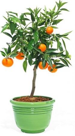 Мандариновое дерево в домашних условиях