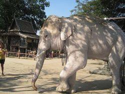 Белые слоны в Таиланде: фото и описание