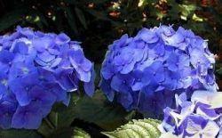 Гортензия садовая: особенности посадки и ухода за растением