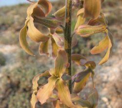 Коричневые цветы: описание сортов