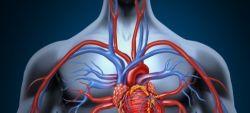 Где находится сердце у человека? Топография сердца и органов грудной клетки