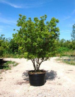 Миртовое дерево, как ухаживать за ним в домашних условиях