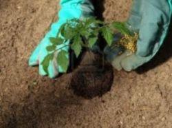 Подкормка рассады томатов - залог богатого урожая