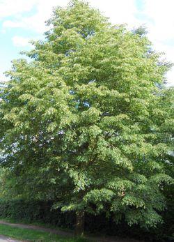 Липа (дерево): описание и фото