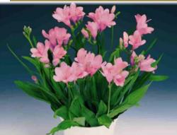 Фрезия в домашних условиях: нюансы в выращивании