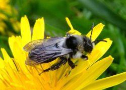Как избавиться от пчел в доме и на участке? Дикие пчелы: как их вывести?