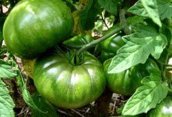 Исключаем болезни томатов от недостатка или избытка азота, калия и фосфора
