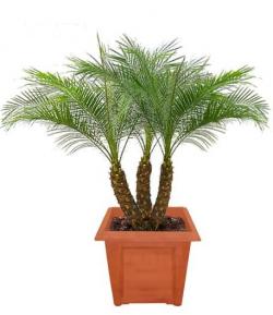 Финиковая пальма в домашних условиях - раскрываем секреты выращивания